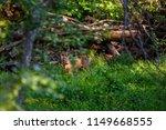 beautiful roe deer washing back ... | Shutterstock . vector #1149668555