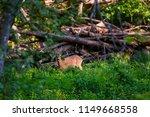 beautiful roe deer washing back ... | Shutterstock . vector #1149668558