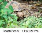 sulcata tortoise is herbivores. ...   Shutterstock . vector #1149729698