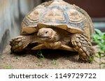 sulcata tortoise is herbivores. ...   Shutterstock . vector #1149729722
