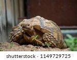 sulcata tortoise is herbivores. ...   Shutterstock . vector #1149729725