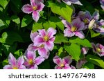 close up view to pink flowers... | Shutterstock . vector #1149767498