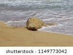 cute monk seal resting on the... | Shutterstock . vector #1149773042