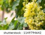 grapes field  vineyard  turkey...   Shutterstock . vector #1149794642