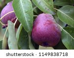 ripe pears on a branch. the... | Shutterstock . vector #1149838718