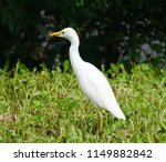 cattle egret in kauai  hawaii.... | Shutterstock . vector #1149882842