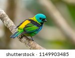 Perched Green Headed Tanager