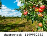 Red Apples Hanging On Tree