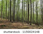 spring in the beech forest | Shutterstock . vector #1150024148