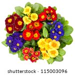 Multocolor Primula Flowers...