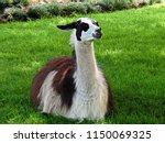 Llama Lying Down  Grass