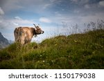 brown mountain cows grazing on... | Shutterstock . vector #1150179038