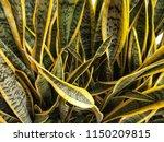 sansevieria trifasciata... | Shutterstock . vector #1150209815