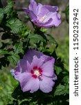 hibiscus syriacus  rose of...   Shutterstock . vector #1150232942