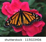 A Beautiful Female Monarch...