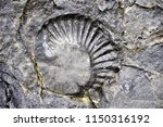 the slab with ammonites fossil... | Shutterstock . vector #1150316192
