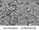 the slab with ammonites fossil... | Shutterstock . vector #1150316198