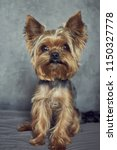 Yorkshire Terrier Close Up On ...