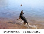 a german shepherd dog playing... | Shutterstock . vector #1150339352
