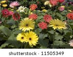 Gerberas For Sale In Tagaytay...