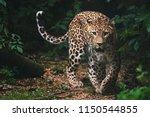 Persian leopard  panthera...