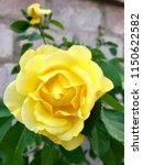 the yellow rose at the stone... | Shutterstock . vector #1150622582