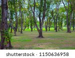 big trees in the tropical... | Shutterstock . vector #1150636958