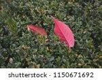 fallen red autumn leaves....   Shutterstock . vector #1150671692