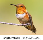 rufous hummingbird perched on... | Shutterstock . vector #1150693628