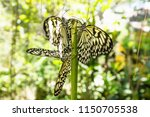 Closeup White Black Butterflie...