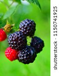 blackberries on the bush.... | Shutterstock . vector #1150741925