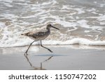 willet  tringa semipalmata  on... | Shutterstock . vector #1150747202