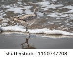 willet  tringa semipalmata  on... | Shutterstock . vector #1150747208