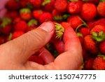sort through the strawberries.... | Shutterstock . vector #1150747775