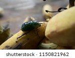 sternocera aequisignata...   Shutterstock . vector #1150821962