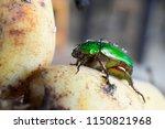 sternocera aequisignata...   Shutterstock . vector #1150821968