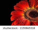 red gerbera flower with water... | Shutterstock . vector #1150865318
