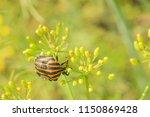 striped beetle. colorado beetle ...   Shutterstock . vector #1150869428