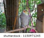 white cockatiels bird stand in... | Shutterstock . vector #1150971245