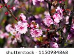 double pale pink frilled... | Shutterstock . vector #1150984868