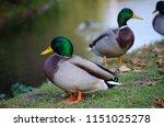 wild ducks near lake  | Shutterstock . vector #1151025278