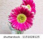 close up pink gerbera flowers... | Shutterstock . vector #1151028125