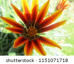 beautiful colorful flowers   Shutterstock . vector #1151071718