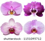 orchids isolated on white... | Shutterstock . vector #1151095712