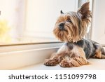 A Yorkshire Terrier Dog Looks...