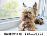Dog Yorkshire Terrier Eats A...