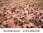 red and brown fallen leaves at... | Shutterstock . vector #1151186228