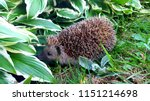 hedgehog in the garden | Shutterstock . vector #1151214698
