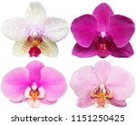 orchids isolated on white... | Shutterstock . vector #1151250425