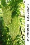 bitter gourd   green bitter... | Shutterstock . vector #1151280248